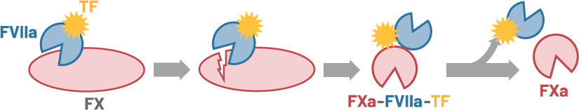 Schematic illustration of the activation of FX by the FVIIa-TF complex