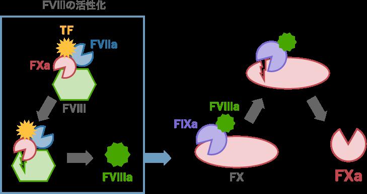 FVIIIの活性化図解